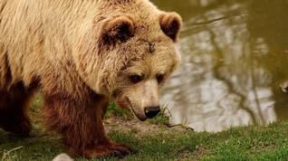 Kisah Mantan Pemburu Slovenia yang Berdamai dengan Beruang