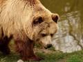 Beri Bola ke Wasit, Beruang Buka Laga Sepak Bola di Rusia