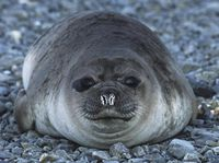 Penis anjing laut dipercaya oleh praktisi kesehatan di Asia memiliki khasiat untuk seks. Penis anjing laut ini dikeringkan lalu dimakan atau dicampur dengan buah zakarnya untuk menjadi minuman. (Foto: Thinkstock)