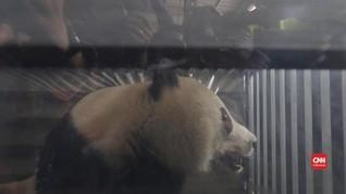 VIDEO: Berkenalan dengan Dua Panda Imut Kado dari China