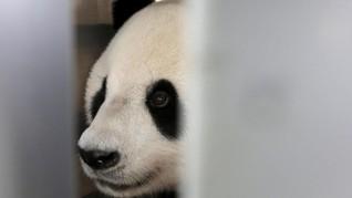 Syarat Khusus untuk Sepasang Panda Raksasa di Indonesia