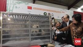 Cai Tao dan Hu Chun, Panda Raksasa China Tiba di Indonesia