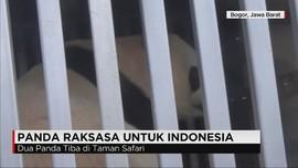 Panda Raksasa Tiba di Taman Safari