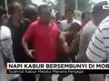 VIDEO: Napi Kabur Bersembunyi di Mobil