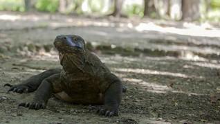 Peneliti Temukan Rahasia Kekuatan Komodo