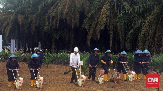 Jokowi Mulai Peremajaan Lahan Sawit 4.400 Ha di Sumsel