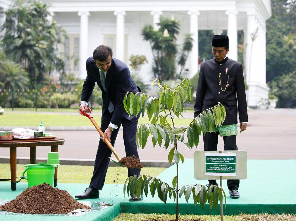 Jokowi menemani Syekh Tamim menanam pohon di taman Istana Bogor. Pohon yang ditanam adalah eboni (Diospyros celebica bakh f). Pohon endemik Sulawesi ini juga sering disebut kayu hitam. Kayunya biasa digunakan untuk bahan furnitur mewah, hingga fretboard gitar atau biola. (Foto: REUTERS/Beawiharta)