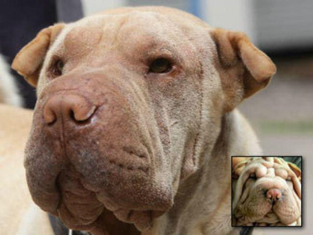 Kasihan, Foto Before-After Operasi Plastik Anjing yang Tren di Korea