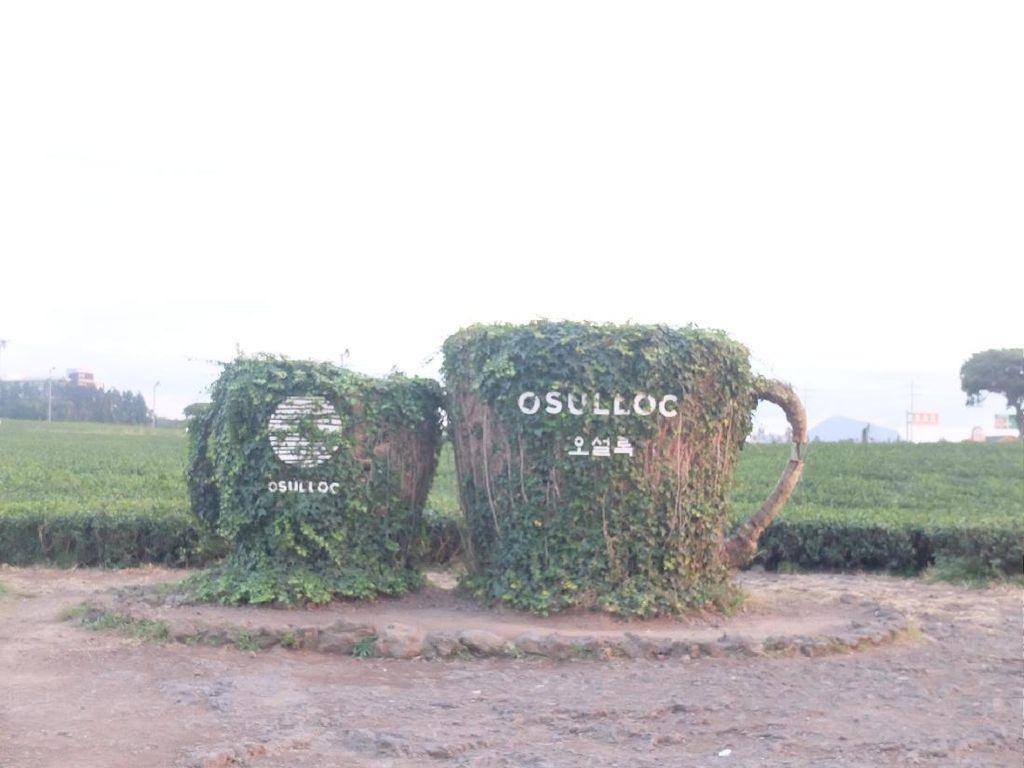 Indahnya Osulloc , Kebun Teh Hijau Milik AmorePacif di Pulau Jeju