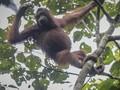 VIDEO: Sulitnya Meneliti Orangutan