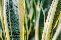 Menurut NASA, tanaman yang dikenal sebagai lidah mertua ini merupakan salah satu tanaman penyaringan udara terbaik. Mereka memiliki fungsi ganda, selain sebagai dekorasi rumah, tapi juga penghasil oksigen di malam hari yang akan menyejukkan ruangan saat Anda tidur. Foto: ilustrasi/thinkstock