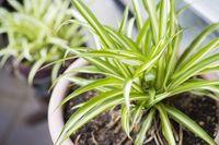 Spider plant, yang terlihat serupa dengan lidah mertua ini, dikatakan bisa membersihkan udara dari bahan kimia penyebab kanker. Tanaman ini juga menyerap bau dan membantu tidur lebih nyenyak. Foto: ilustrasi/thinkstock