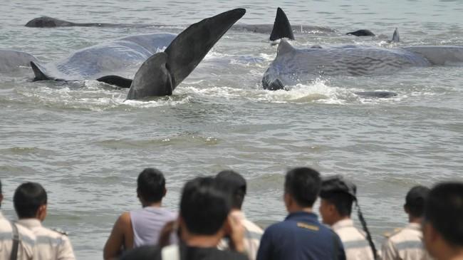 <p>Pada akhir 2016 lalu sebenarnya pernah terjadi kasus serupa, yaitu terdamparnya paus jenis sperma di Provinsi Aceh. (ANTARA FOTO/Ampelsa)</p>