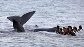 <p>Tim WWF terus memantau kondisi paus yang sukses diselamatkan ke laut untuk memastikan bahwa mereka meneruskan perjalanan dan tidak menunggu empat paus yang sudah mati. (ANTARA FOTO/Irwansyah Putra/pd/17)</p>