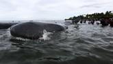 <p>Petugas dari berbagai komponen dibantu warga berupaya mengevakuasi paus yang terdampar itu. Sementara pihak terkait masih melakukan penyelidikan penyebab terdamparnya ikan tersebut. Diduga dua di antara paus tersebut terluka sehingga menepi. (ANTARA FOTO/Irwansyah Putra)</p>
