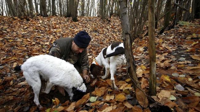 Pemburu jamur truffle, Piercarlo Vacchina melatih dua anjingnya, Rocky dan Jimmy berburu jamur. Kekeringan dalam beberapa tahun terakhir sempat membuatnya patah arang. (REUTERS/ Stefano Rellandini)
