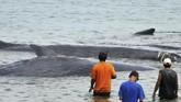 <p>Saat ditemukan, beberapa ekor paus ini menderita luka-luka sebesar telapak tangan. Belum diketahui penyebab luka-luka ini. Beberapa jam setelah terdampar, empat ekor di antaranya mati. (ANTARA FOTO/Ampelsa)</p>