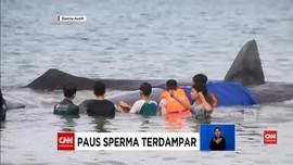 VIDEO: Paus Sperma Terdampar di Aceh