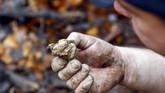 Seorang pemburu jamur menunjukkan jamur truffle putih temuannya di areal hutan dekat Alba, di barat laut Italia, pada akhir pekan lalu, (11/11), Jamur truffle putih bernilai tinggi hingga miliaran rupiah. (REUTERS/ Stefano Rellandini)