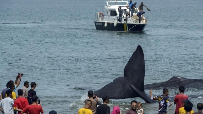 <p>Sementara enam paus lainnya berhasil dievakuasi ke laut dalam oleh petugas menggunakan kapal motor. (AFP PHOTO / Chaideer MAHYUDDIN)</p>