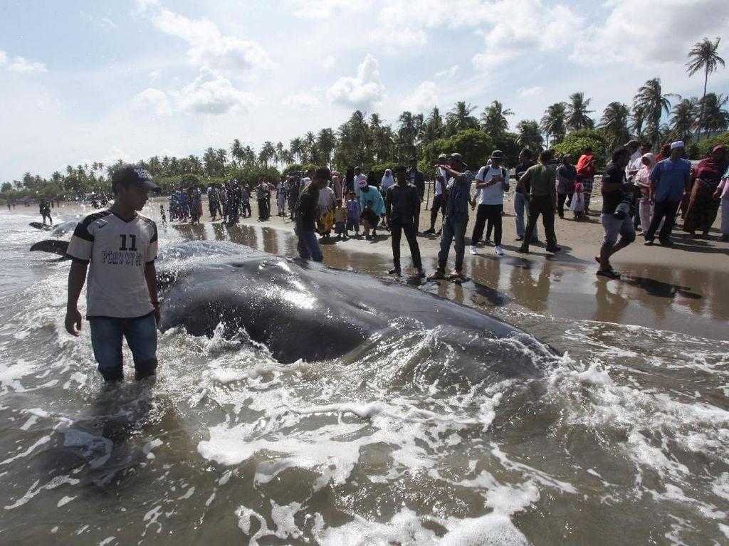 Mamalia ini terdampar di Pantai Ujong Kareng, Kecamatan Mesjid Raya, Aceh Besar, Aceh, pada Senin (13/11/2017) kemarin. Pada akhirnya, 4 ekor paus mati sementara 6 lainnya berhasil dibawa kembali ke tengah laut. Foto: REUTERS/Oviyandi Emnur