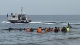 <p>Pada proses evakuasi, satu ekor paus semula sudah akan berjalan ke arah laut. Namun setelah beberapa meter ditarik, mamalia besar tersebut kembali ke kawanannya sehingga kapal untuk menarik paus ini kemudian merapat lagi ke dekat paus-paus tersebut. (AFP PHOTO / Chaideer MAHYUDDIN)</p>