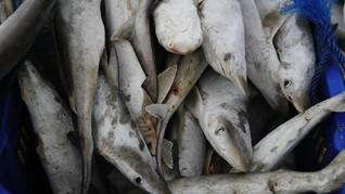 Tim Polda Jateng Selidiki Kematian Ratusan Hiu di Karimunjawa