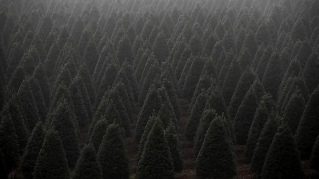 Di Natal tahun ini, warga Amerika mungkin akan membayar lebih untuk mendapatkan pohon Natal, karena pasokan menipis dari Oregon dan Carolina Utara.(Justin Sullivan/Getty Images/AFP)