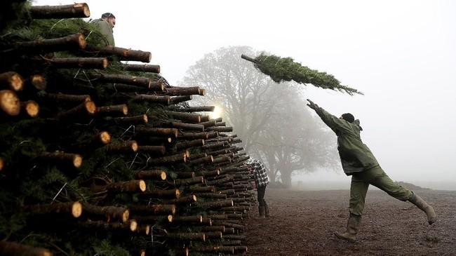 Saat masa resesi besar, petani memiliki kelebihan pasokan pohon karena terlalu banyak menanam pohon di awal 2000-an. Namun harga rendahnya memaksa petani keluar dari bisnis.(Justin Sullivan/Getty Images/AFP)