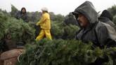 Saat masa resesi besar, petani memiliki kelebihan pasokan pohon karena terlalu banyak menanam pohon di awal 2000-an. Namun harga rendahnya memaksa petani keluar dari bisnis. (Justin Sullivan/Getty Images/AFP)
