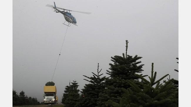 Casey Grogan, manajer di Silver Bells Tree Farm Orgeon mengungkapkan bahwa mereka sudah menerima permintaan pohon Natal yang melonjak 20 kali lipat dari normal.(Justin Sullivan/Getty Images/AFP)