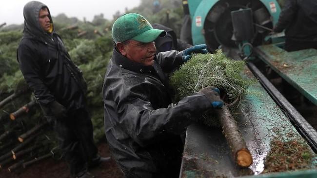 Hanya saja, masalah utamanya adalah pasokan. Penanam pohon Natal semakin kritis di tahun ini karena pohon dikirim ke luar negeri dan area lainnya (Justin Sullivan/Getty Images/AFP)
