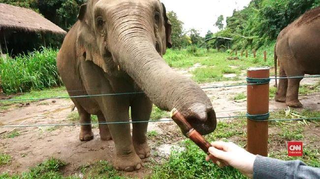 VIDEO: Wisata Gajah 'Pensiun' di Chiang Rai