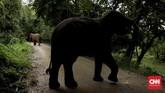 Hotel Anantara Golden Triangle di Chiang Rai, Thailand, memiliki kamp penampungan gajah yang penghuninya bisa menjadi teman bagi tamu. Kegiatan memberi makan sampai memandikan gajah jadi salah satu daya tarik hotel ini. (CNN Indonesia/Ardita Mustafa)