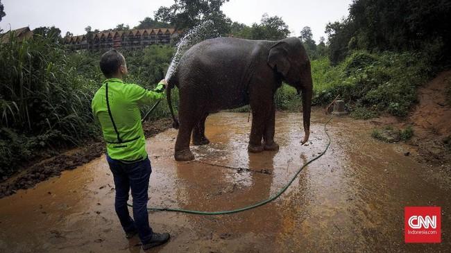 Ada juga gajah yang naas, dipelihara untuk diambil kulit dan gadingnya saat besar. Obat jerawat dari kulit gajah merupakan kosmetik populer di dunia saat ini, entah sudah teruji dengan medis atau tidak.