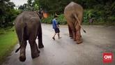 Di resor mewah ini, ada 23 ekor gajah Asia spesies India, yang berbadan kecil dan berkuping pendek.