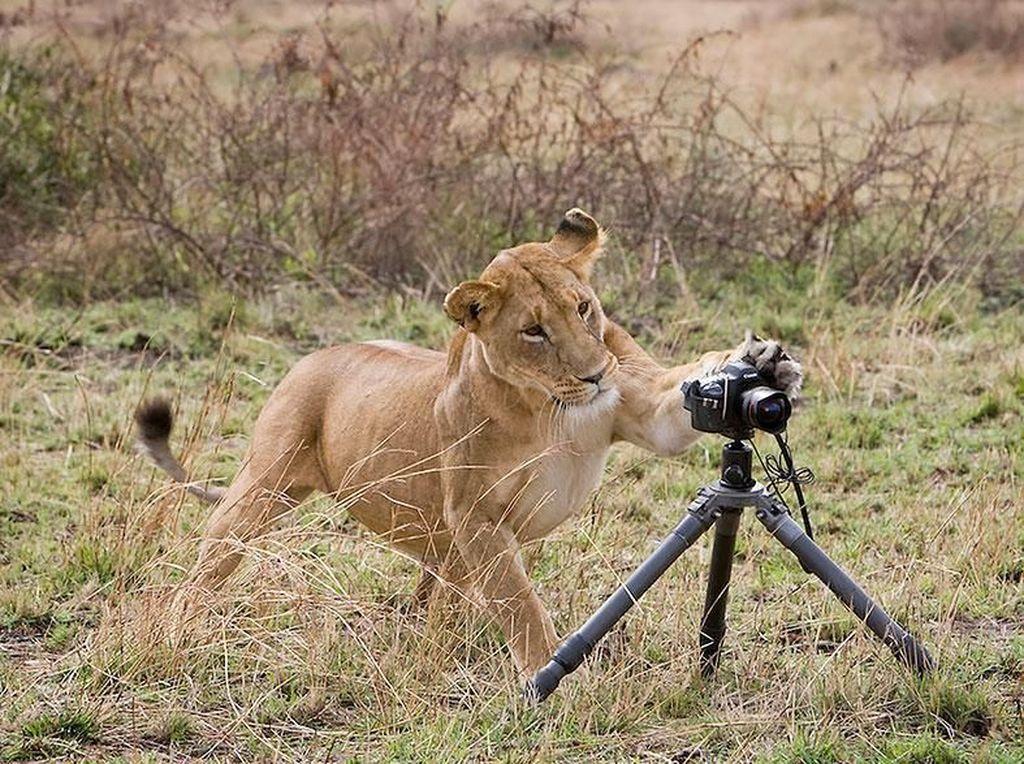 Aksi harimau dengan kameranya. (Foto: Boredpanda)