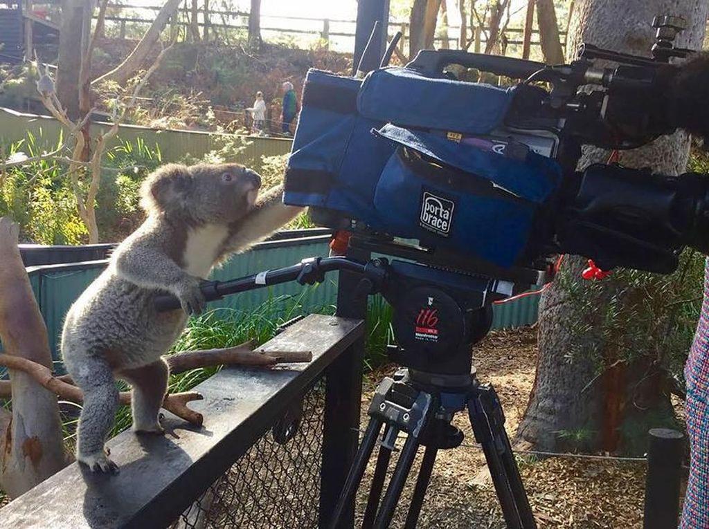 Gaya koala dengan kameranya. (Foto: Boredpanda)