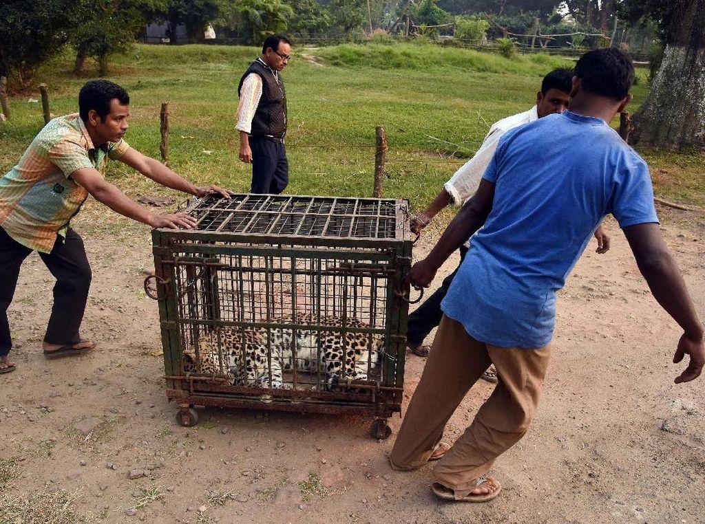 Selanjutnya dia diamankan dengan dimasukkan ke dalam kandang (Foto: Dok. REUTERS/Anuwar Hazarika)