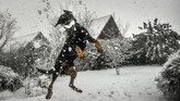Seekor anjing melompat dan menangkap bola salju di kota Godewaersvelde, Perancis. Di negara itu, 32 lembaga berstatuskan siaga (warna oranye) karena adanya angin berkecepatan lebih dari 100 kilometer perjam. Angin kencang juga menyebabkan lebih dari 20 ribu rumah terputus aliran listriknya. (AFP PHOTO/PHILIPPE HUGUEN)