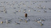Seorang pria berenang dikelilingi burung camar di laut Arab, di Mumbai, India. (REUTERS/Shailesh Andrade)