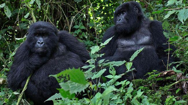 Populasi Gorila Pegunungan Perlahan Meningkat