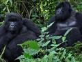 Jelang Akhir Tahun, Kawanan Gorila Mulai Mencari Jodoh
