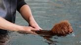 Seorang petugas hotel hewan sedang mengawasi anjing peliharaan yang menjalani kegiatan berenang.