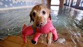 Seekor anjing peliharaan menggunakan pelampung selama melakukan kegiatan berenang.