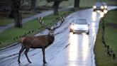 Seekor kijang berdiri di tengah-tengah jalan di Taman Richmond, London bagian Barat, Inggris. (Reuters/Hannah McKay)