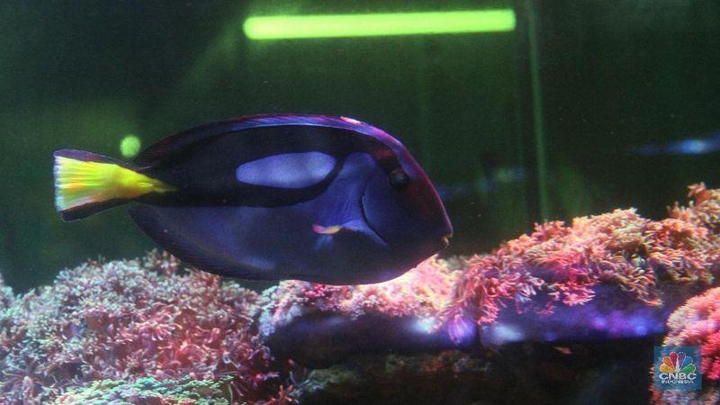 Bisnis Ikan Hias Air Laut Beri Keindahan Pemandangan Akuarium