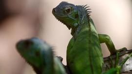 Cuaca Ekstrem, Iguana Berjatuhan di Florida