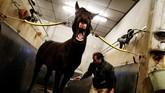 Seorang joki kuda asal Perancis, Hugues Monthule, memandikan kuda bernama Bold Eagle sebelum dimulainya sesi latihan di Le Menil-Berard, barat laut Perancis . Bold Eagle sendiri dijagokan untuk memenangkan kejuaraan dunia ekuestrian Prix d'Amerique. (AFP/Charly Triballeau)
