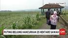 Puting Beliung Menghancurkan 25 Hektar Tanaman Padi